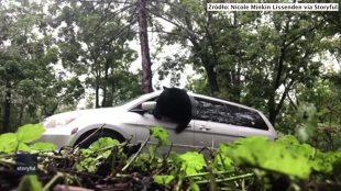 Przez przypadek.... zamknęli niedźwiedzia w aucie (video)