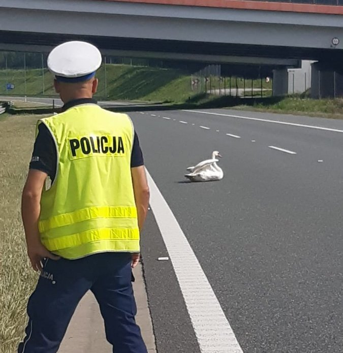 Wczoraj na autostradzie A4 w rejonie miejscowości Jaźwiny, w powiecie dębickim doszło do nietypowej interwencji policji. Okazało się, że siedzący na jezdni łabędź, zablokował jeden z pasów autostrady. Ptak trafił pod opiekę weterynarza. Fot. Policja