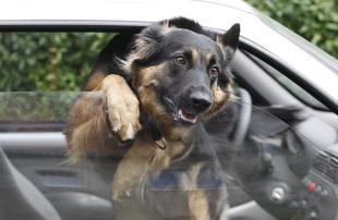 Pies zamknięty w samochodzie podczas upału. Co za to grozi?