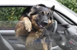 Dwa lata więzienia za zamknięcie psa w aucie?