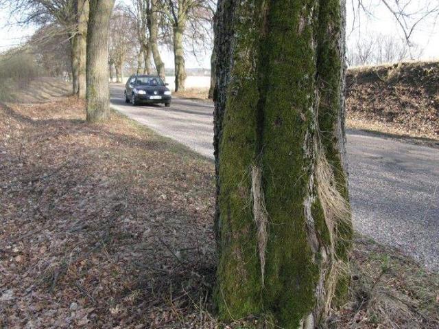 Ekolodzy wstrzymali wycinkę przydrożnych drzew